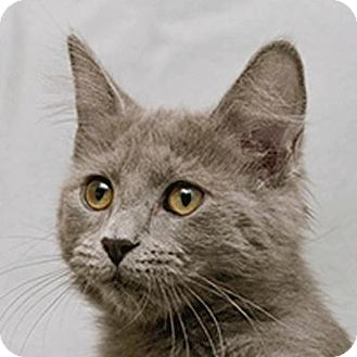 Domestic Shorthair Cat for adoption in Cary, North Carolina - Pandora