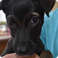 Adopt A Pet :: Pinot - Scottsdale, AZ