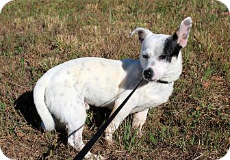 Rat Terrier/Chihuahua Mix Dog for adoption in Salem, New Hampshire - CLETUS