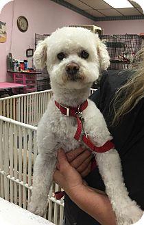 Poodle (Miniature)/Bichon Frise Mix Dog for adoption in Los Angeles, California - TERRI