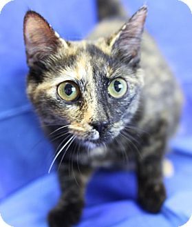 Domestic Shorthair Cat for adoption in Winston-Salem, North Carolina - Snookie