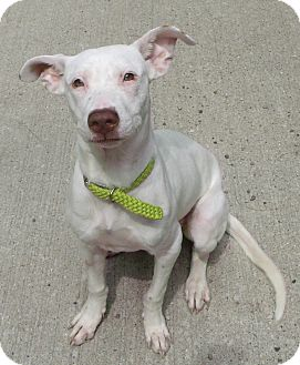 American Pit Bull Terrier Mix Dog for adoption in Muskegon, Michigan - Tulip