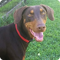 Adopt A Pet :: Nala - Arlington, VA