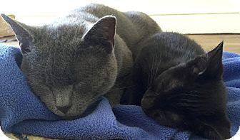 Domestic Shorthair Cat for adoption in Philadelphia, Pennsylvania - Pretty Boy Floyd