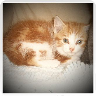 Domestic Shorthair Kitten for adoption in Medford, Wisconsin - AKINA