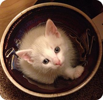 Domestic Mediumhair Kitten for adoption in Woodland, California - Yipee
