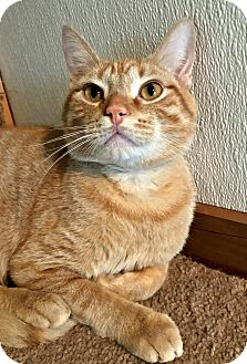 Domestic Shorthair Cat for adoption in Hanna City, Illinois - Pikachu