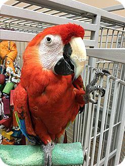 Macaw for adoption in Punta Gorda, Florida - Bella