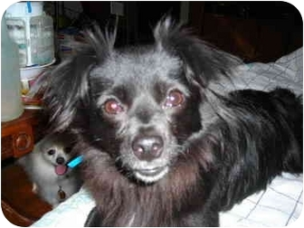 Papillon/Chihuahua Mix Dog for adoption in Overland Park, Kansas - Tater Tot