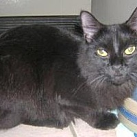 Domestic Mediumhair Cat for adoption in Miami, Florida - Emma