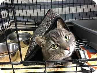 Domestic Shorthair Cat for adoption in Orleans, Vermont - Brent
