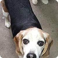 Adopt A Pet :: Duke - Pottsville, PA