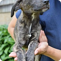 Adopt A Pet :: Leilani - Danbury, CT