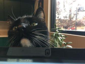 Domestic Longhair/Domestic Shorthair Mix Cat for adoption in Sedona, Arizona - Mitzie