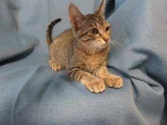 Domestic Shorthair/Domestic Shorthair Mix Cat for adoption in Chicago, Illinois - Daisy