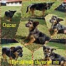 Adopt A Pet :: Oscar - needs foster