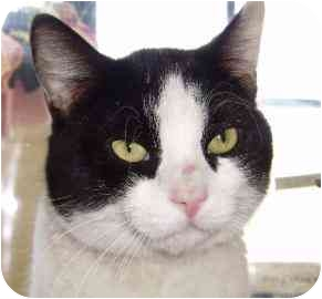 Domestic Shorthair Cat for adoption in Walker, Michigan - Paxton