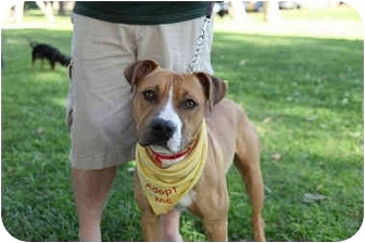 Boxer/Staffordshire Bull Terrier Mix Dog for adoption in spring valley, California - Dakota