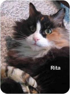 Manx Cat for adoption in Portland, Oregon - Rita