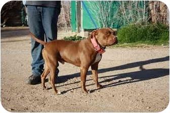 American Pit Bull Terrier/Labrador Retriever Mix Dog for adoption in California City, California - The Plumbas