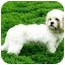 Photo 1 - Lhasa Apso/Shih Tzu Mix Dog for adoption in Ile-Perrot, Quebec - Rita