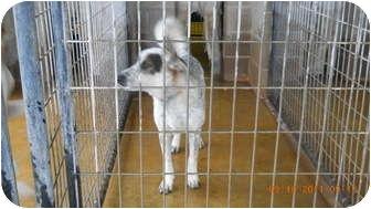 Australian Cattle Dog/Labrador Retriever Mix Dog for adoption in Tonkawa, Oklahoma - Sammy