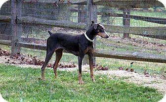 Doberman Pinscher Dog for adoption in Greensboro, North Carolina - Dolce