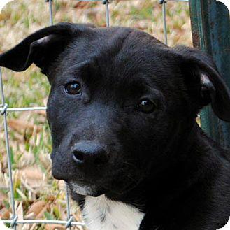 Labrador Retriever/Basset Hound Mix Puppy for adoption in Weatherford, Texas - Bitsy
