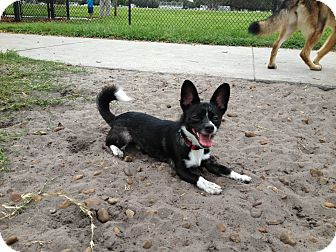 Chihuahua Mix Dog for adoption in Orlando, Florida - Taquito