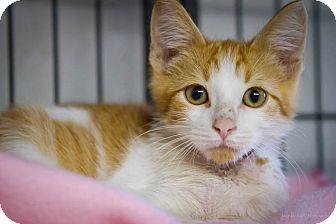Domestic Shorthair Kitten for adoption in Bulverde, Texas - Suds