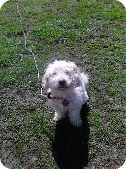 Poodle (Miniature)/Bichon Frise Mix Dog for adoption in Dunkirk, New York - Poochin