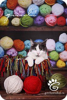 Domestic Shorthair Cat for adoption in THORNHILL, Ontario - Gimli