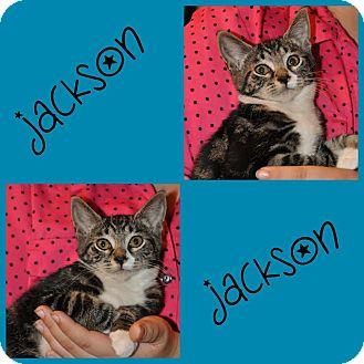 Domestic Mediumhair Kitten for adoption in Hagerstown, Maryland - Jackson