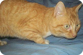 Domestic Shorthair Cat for adoption in Crestview, Florida - Mr Georgia