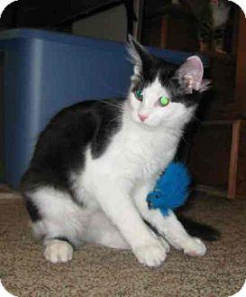 Domestic Longhair Cat for adoption in Parkville, Missouri - Tipsy