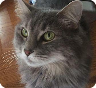 Domestic Mediumhair Cat for adoption in Chandler, Arizona - Gracie