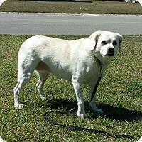 Adopt A Pet :: PHOEBE - Wilmington, NC