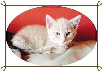 Domestic Shorthair Kitten for adoption in Mt. Prospect, Illinois - Norbit