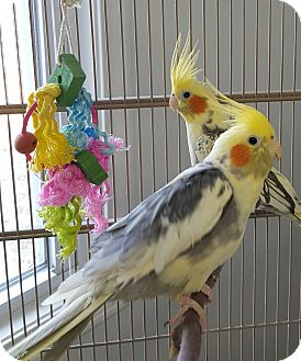 Cockatiel for adoption in Grandview, Missouri - Boom and Lucky