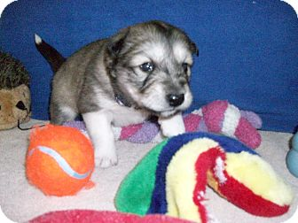 Alaskan Malamute/Jindo Mix Puppy for adoption in Augusta County, Virginia - Puppy Pascal