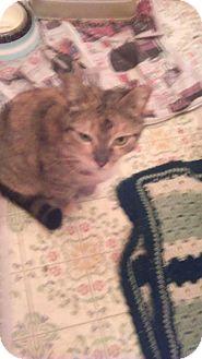 Abyssinian Cat for adoption in Philadelphia, Pennsylvania - Maya