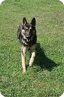 German Shepherd Dog Dog for adoption in Mocksville, North Carolina - Franz
