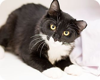 Domestic Mediumhair Cat for adoption in Fountain Hills, Arizona - Russell