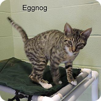 Domestic Shorthair Kitten for adoption in Slidell, Louisiana - Eggnog