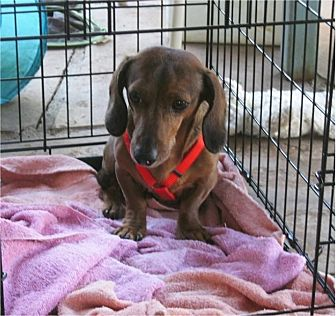 Dachshund Dog for adoption in Tucson, Arizona - Fritz