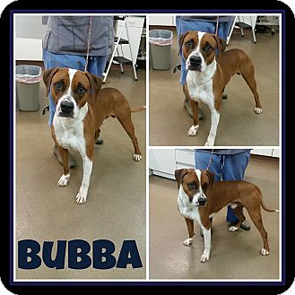 Hound (Unknown Type)/Boxer Mix Dog for adoption in Steger, Illinois - Bubba