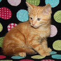 Domestic Shorthair Kitten for adoption in Marietta, Ohio - Karma