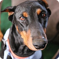 Doberman Pinscher Dog for adoption in Fillmore, California - Carrie