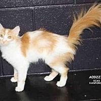 Adopt A Pet :: PUNKIN JR - Hanford, CA