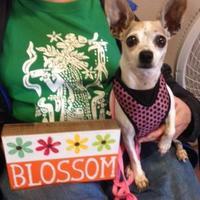 Adopt A Pet :: Blossom - Garland, TX